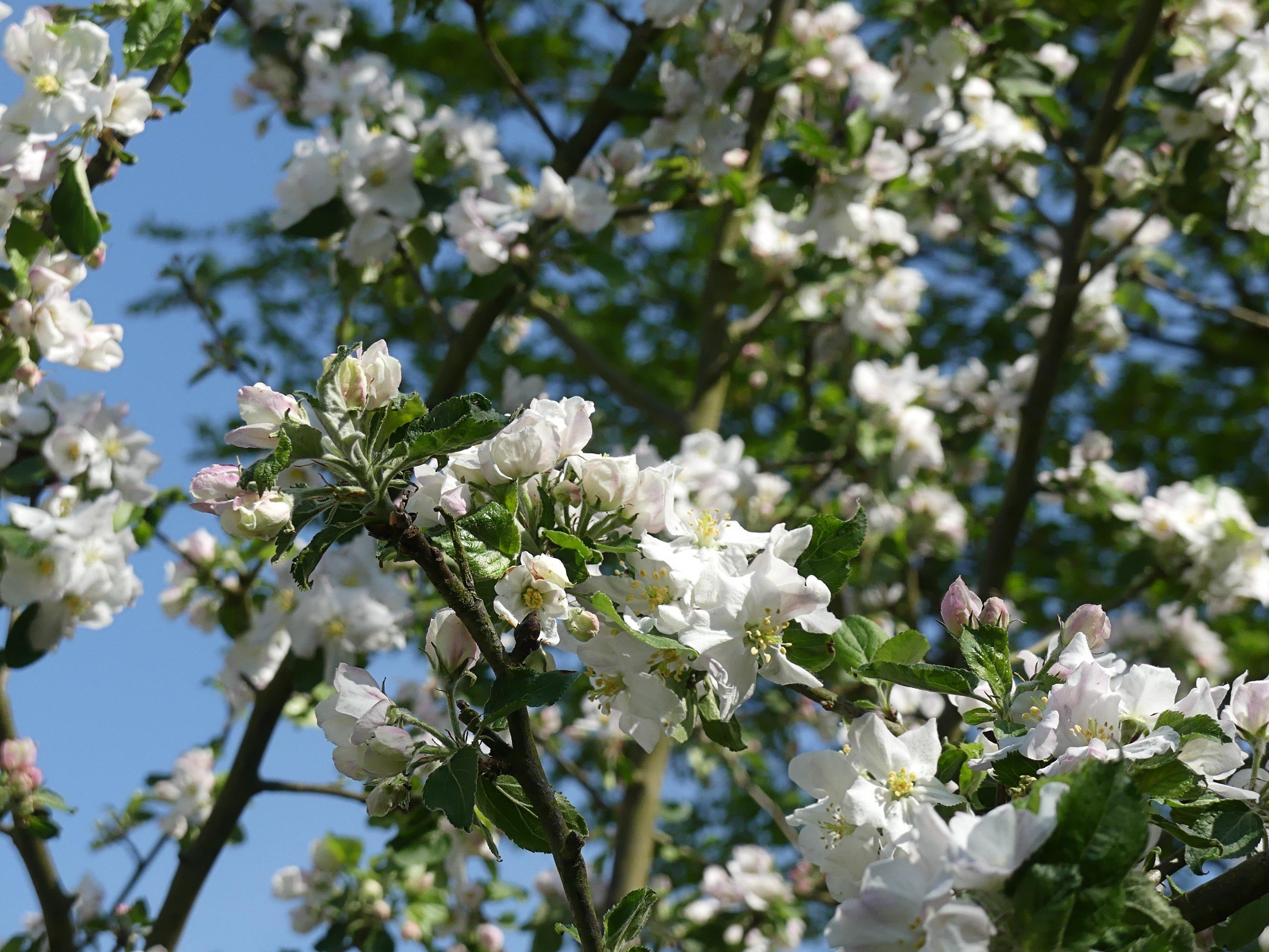 fleurs de printemps 2018 (2)